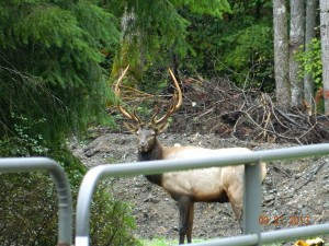 Fall 2013 Elk