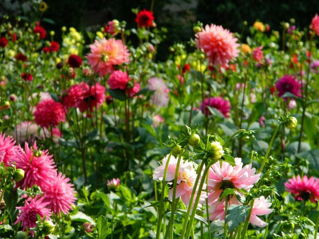 Dahlia Cut Flowers Dahlia Barn