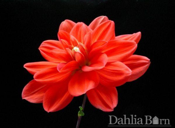 Patricia Ann's Sunset Dahlia