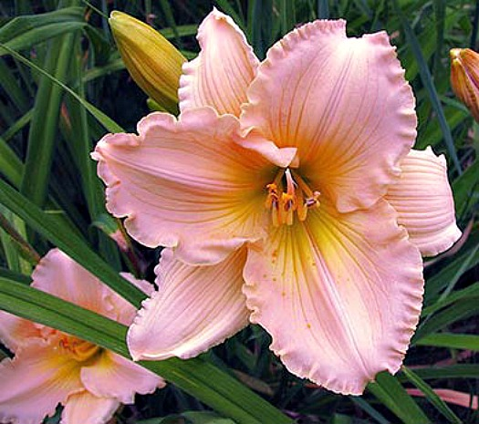 Daylily - Fairy Tale Pink - Re-Bloomer