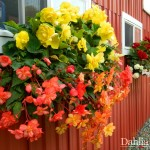 How our Begonias grow