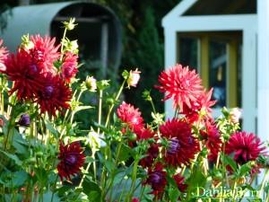 gardens_2014_dahlia_barn