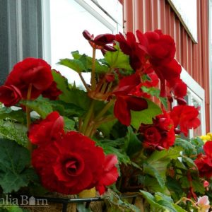 Begonia - Red - Roseform - 2 tubers