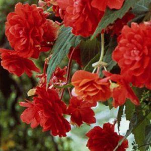 Begonia - Red - Pendula - 2 tubers