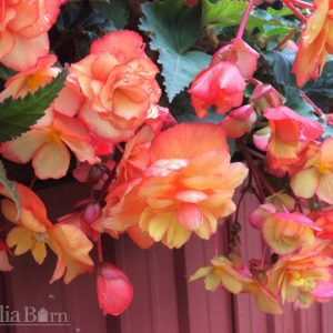 Begonia - Yellow/Red Pendula