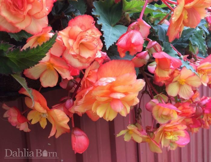 Begonia - Yellow/Red Pendula - 2 bulbs