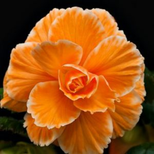 Begonia - Apricot - Lace - Picotee - 2 tubers