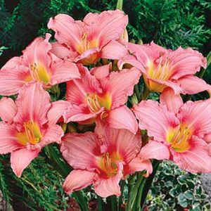 Daylily - Rosa Bellini - Re-Bloomer