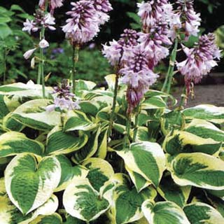 Hosta - Wide Brim