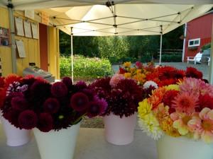 Flower Fest dahlias