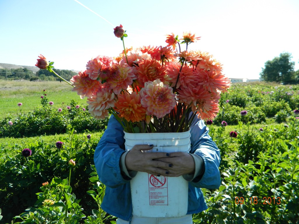 Bulk cut flower orders for local weddings parties events cutting at our thorp farm izmirmasajfo