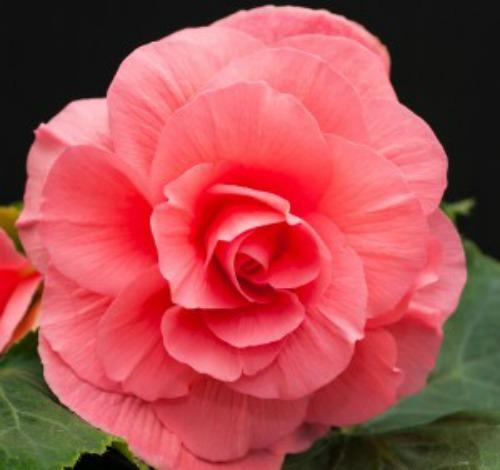 Begonia - Pink - Roseform - 2 tubers