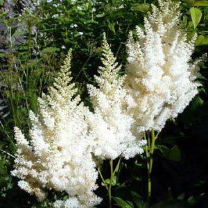 Astilbe - White Gloria