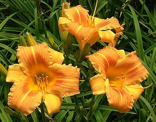 Daylily - Orange Flurry - Re-Bloomer