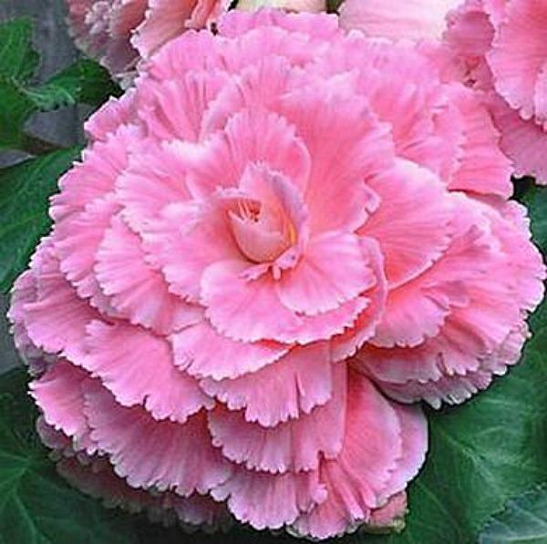 Begonia - Pink Lace - Picotee - 2 tubers