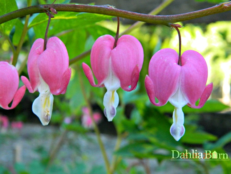 Old Fashioned Bleeding Heart - Pink