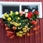 This is how our Begonias grow