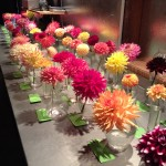 Mini Dahlia Show at the Flower Festival
