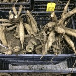Freshly dug dahlia tubers