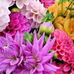 Mix Dahlias