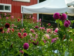 Flower Festival-September in North Bend