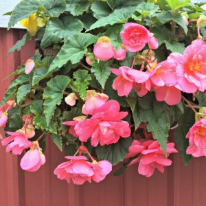 Begonia - Pink - Pendula - 2 tubers