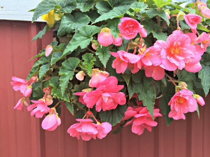 Begonia - Pink - Pendula