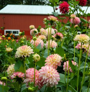 North Bend Dahlia Barn