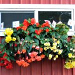 Barn Basket of Begonias
