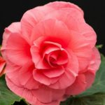 Pink Roseform Begonia