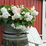 White Ruffled Begonia