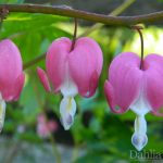 "Bleeding Heart ""Pink"""