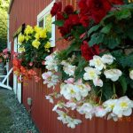 Our begonias are world famous