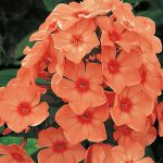 Phlox - Orange Perfection
