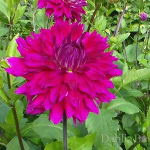 Jr's Flash Dahlia