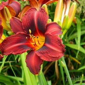 Daylily - Route 66 - Re-Bloomer
