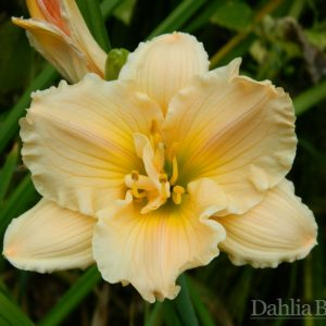 Daylily - Mini Pearl  - Re-Bloomer