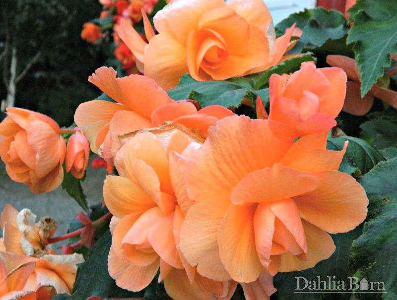 Begonia - Apricot - Pendula - 2 tubers
