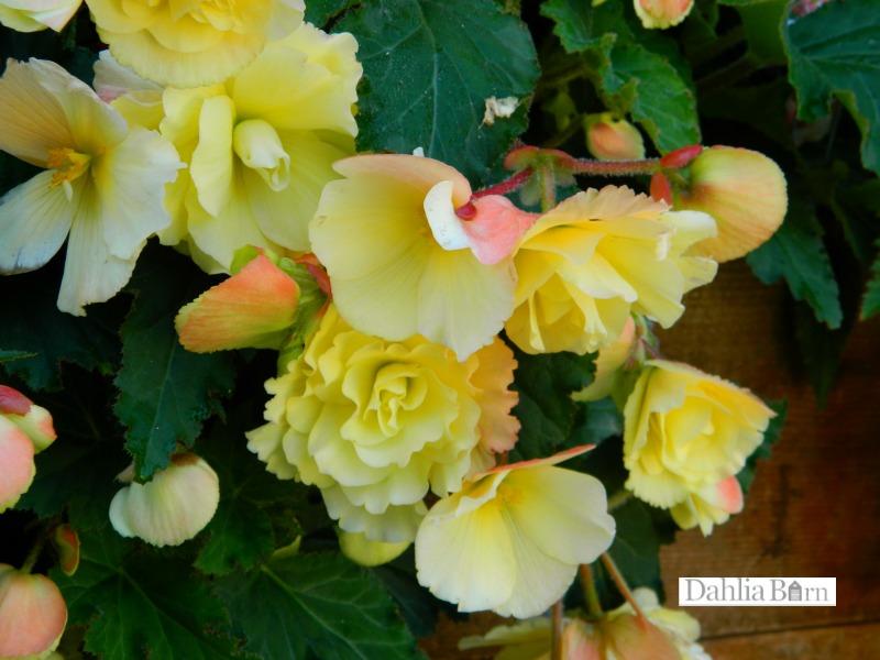 Begonia - Yellow - Pendula - 2 tubers