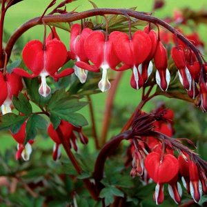 Old Fashioned Bleeding Heart 'Valentine'