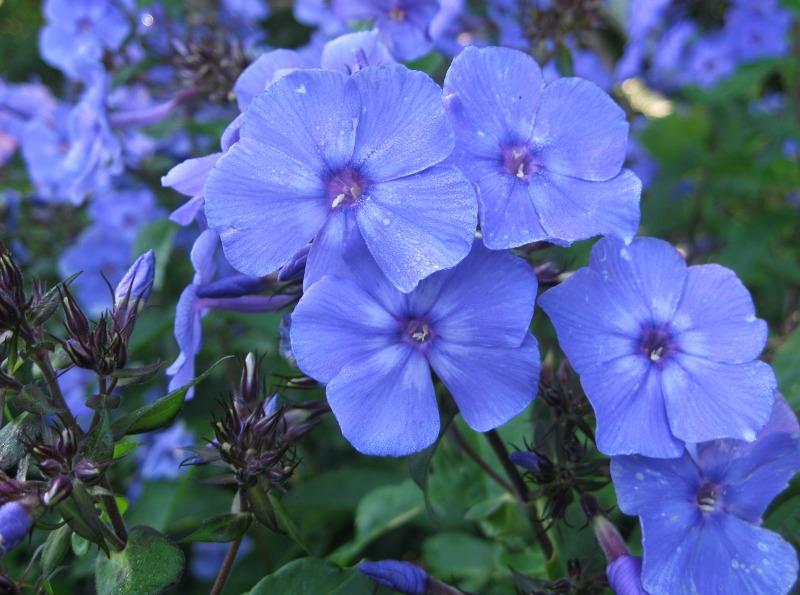 Phlox - Blue Paradise