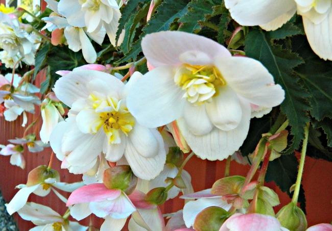 Begonia - White - Pendula - 2 tubers