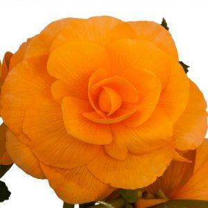 Begonia - Apricot Roseform - 2 tubers