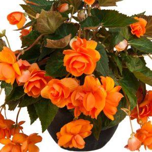 Begonia - Orange - Pendula - 2 tubers