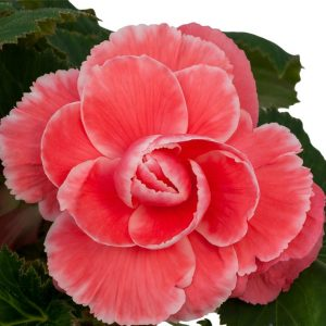 Begonia - Watermelon Lace On Top - 2 tubers