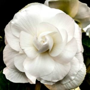 Begonia - White - Roseform