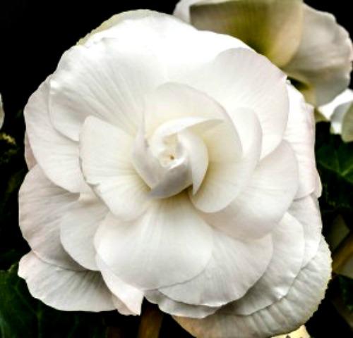 Begonia - White - Roseform - 2 tubers