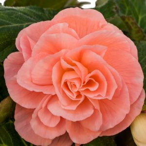 Begonia - Peach - Roseform