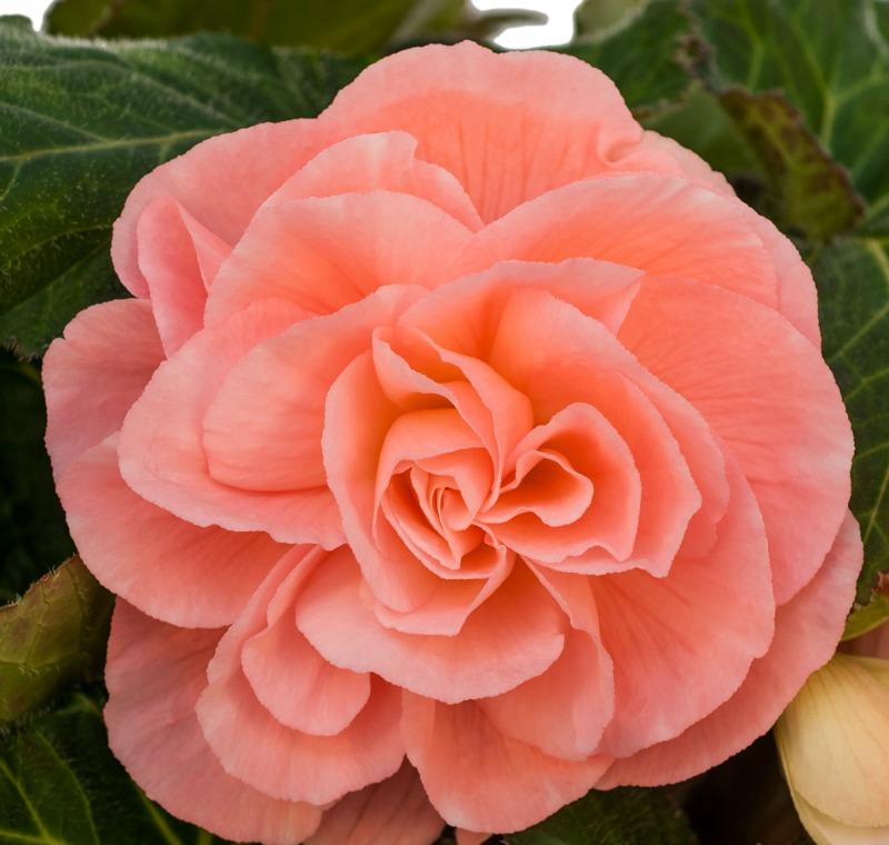 Begonia - Peach - Roseform - 2 tubers