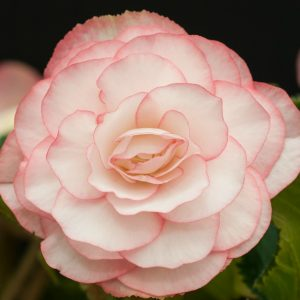Begonia - Pink Halo On Top - 2 tubers